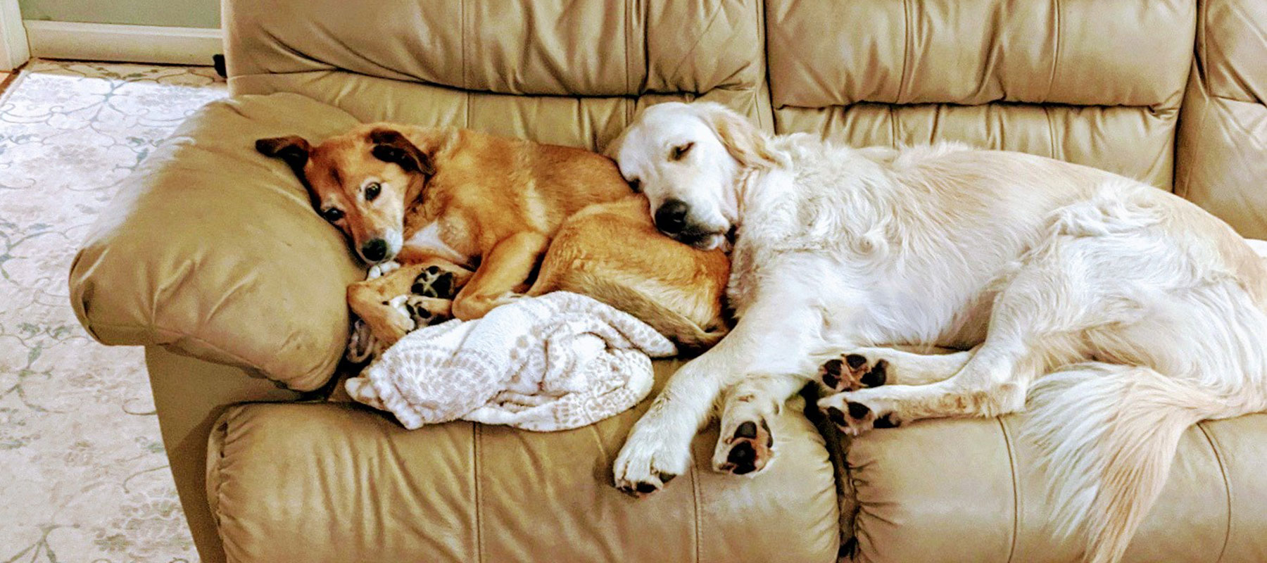 Mid-State Mobile Veterinary Clinic golden retrievers lounging